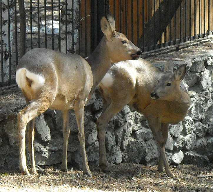 Сибирская косуля - Capreolus (capreolus) pygargus  (фото 3391)