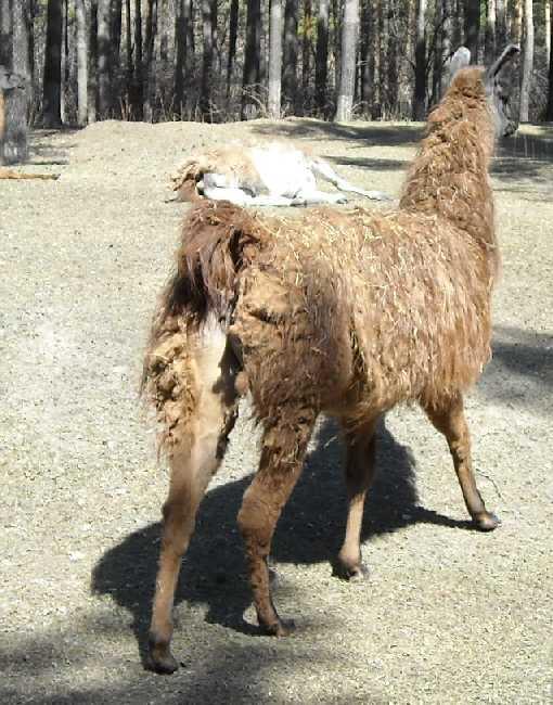 Лама - Lama glama  (фото 3420)