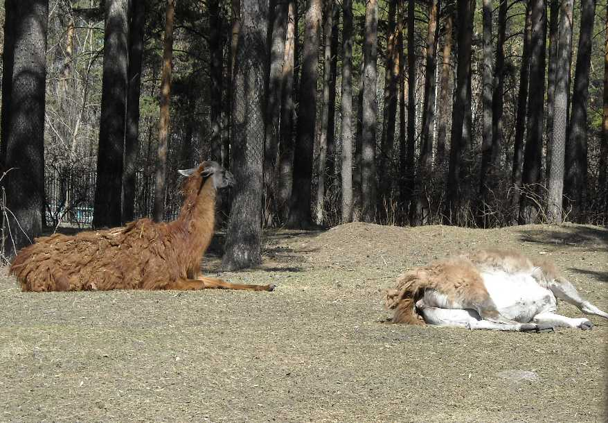 Лама - Lama glama  (фото 3421)