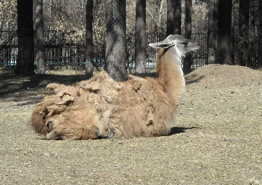 Лама - Lama glama  (фото 3428)