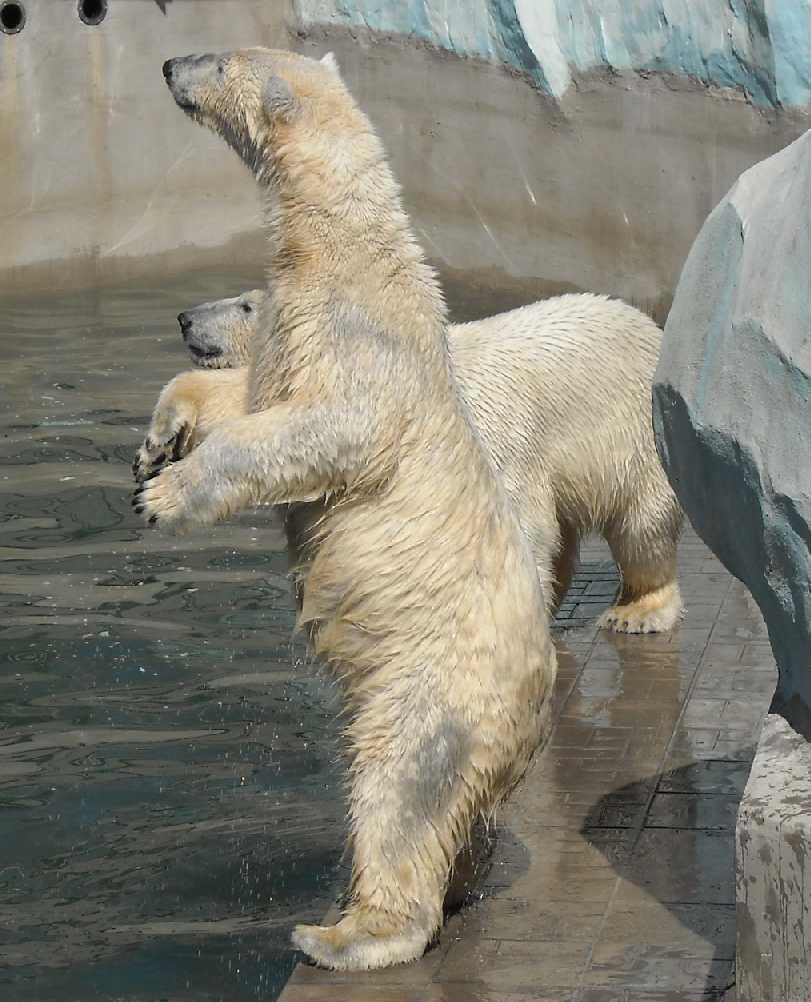 Белый медведь - Ursus maritimus  (фото 3448)