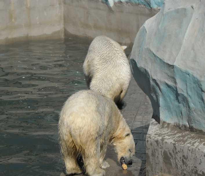 Белый медведь - Ursus maritimus  (фото 3449)