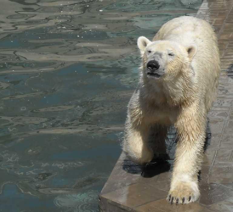 Белый медведь - Ursus maritimus  (фото 3450)