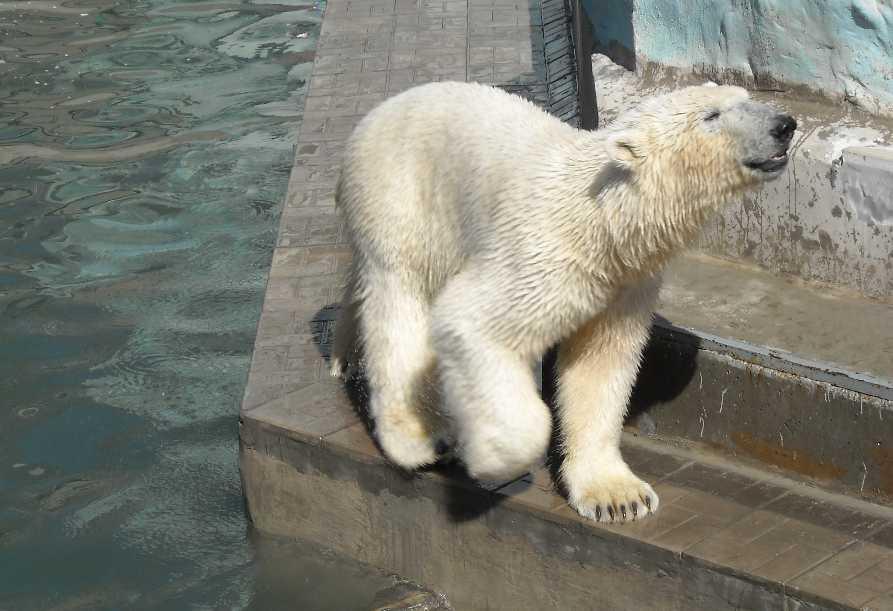 Белый медведь - Ursus maritimus  (фото 3451)