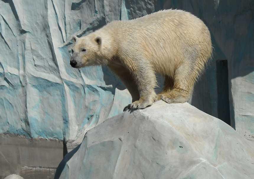 Белый медведь - Ursus maritimus  (фото 3453)