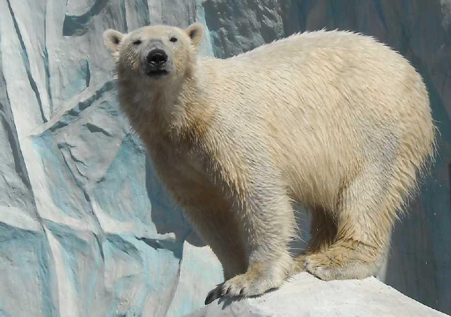 Белый медведь - Ursus maritimus  (фото 3454)