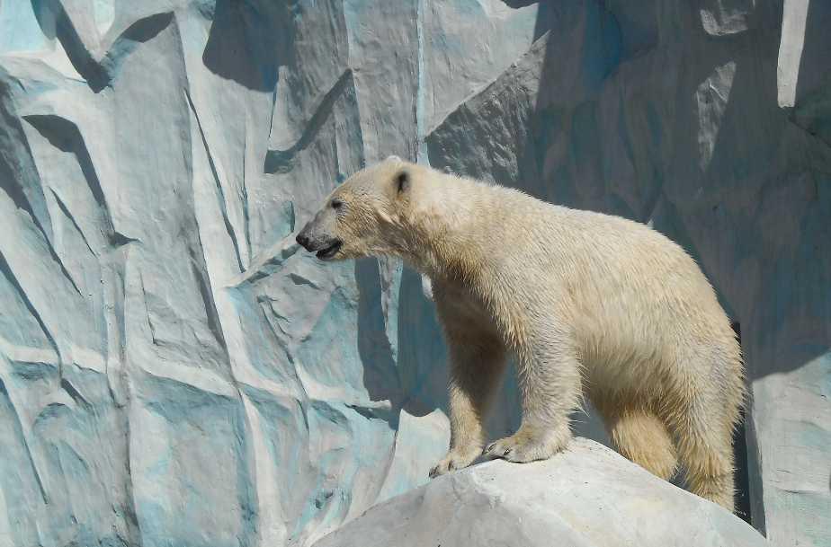 Белый медведь - Ursus maritimus  (фото 3455)