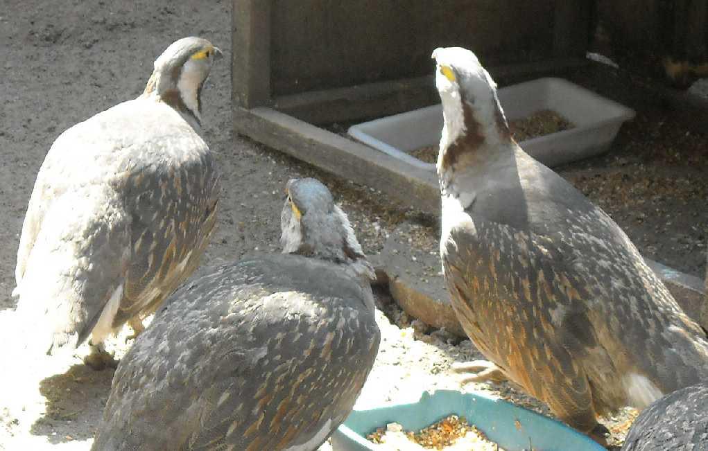 Гималайский улар - Tetraogallus himalayensis  (фото 3483)