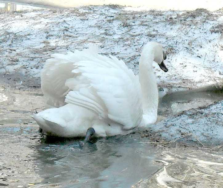 Лебедь-кликун - Cygnus cygnus cygnus  (фото 3521)