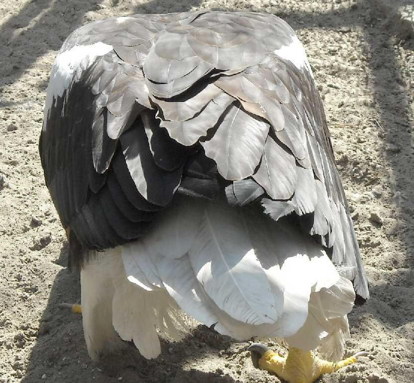 Орлан белоплечий - Haliaeetus pelagicus  (фото 3526)
