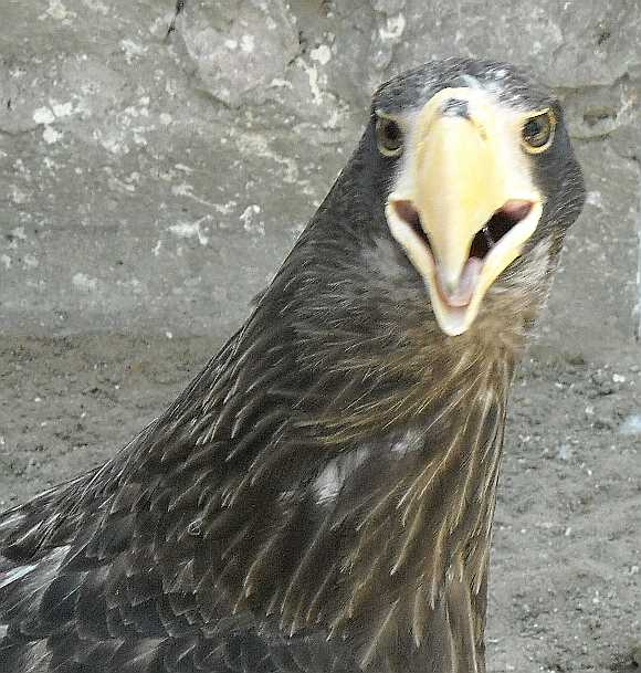 Орлан белоплечий - Haliaeetus pelagicus  (фото 3529)