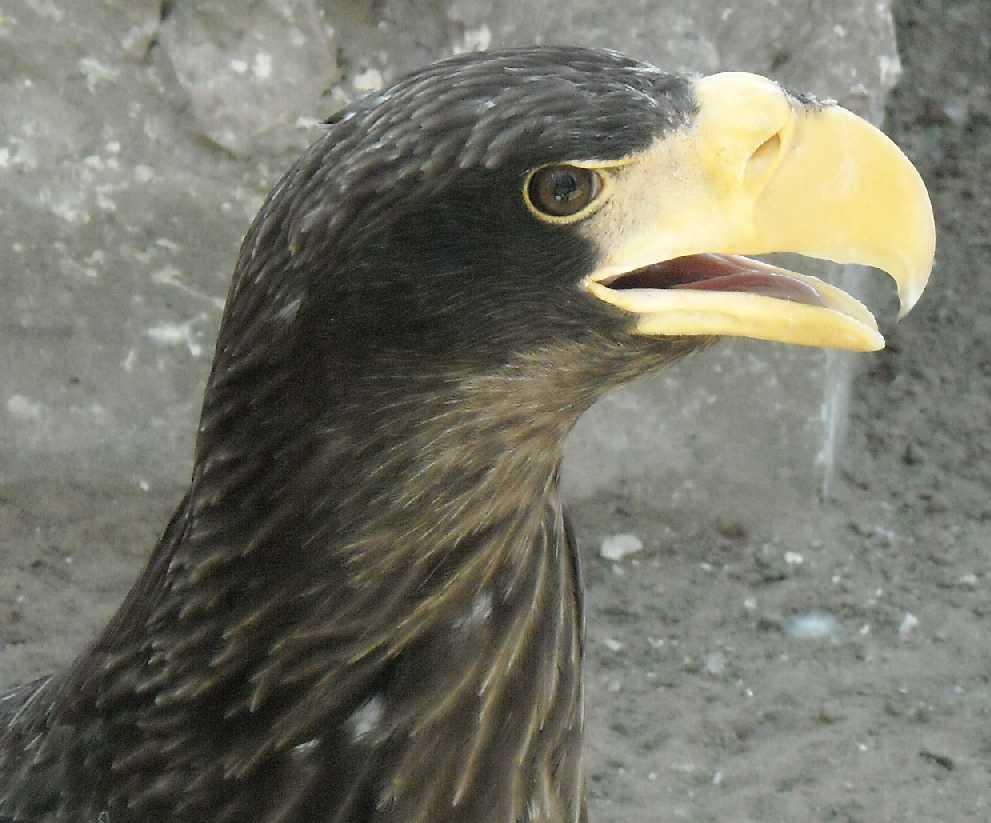 Орлан белоплечий - Haliaeetus pelagicus  (фото 3530)