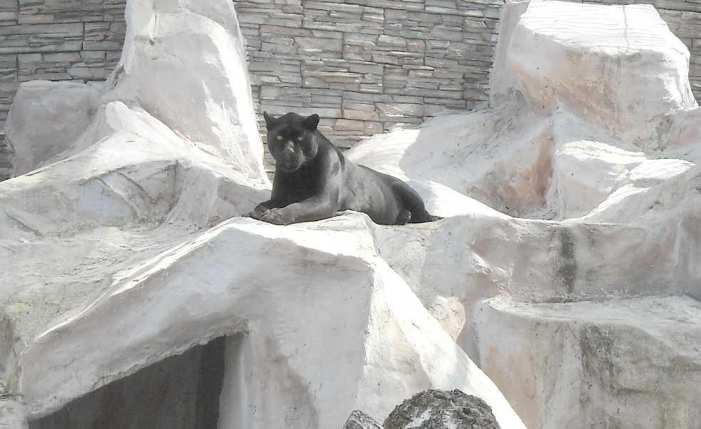 Ягуар черный - Panthera onca  (фото 3578)