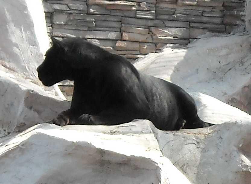 Ягуар черный - Panthera onca  (фото 3579)