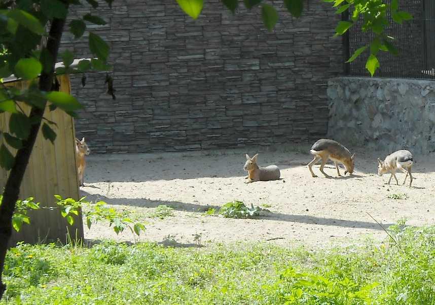 Патагонская мара - Dolichotis patagonica  (фото 3706)