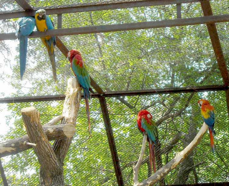 Сине-желтый ара - Ara ararauna  (фото 3723)