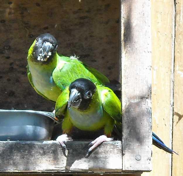Попугай благородный - Eclectus roratus  (фото 3729)