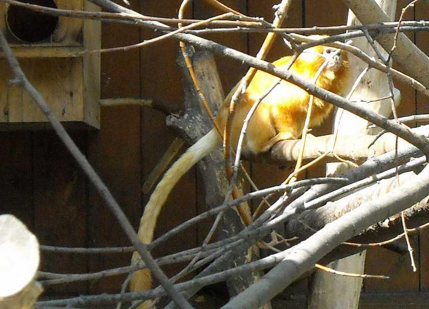 Золотистый львиный тамарин - Leontopithecus rosalia  (фото 3777)