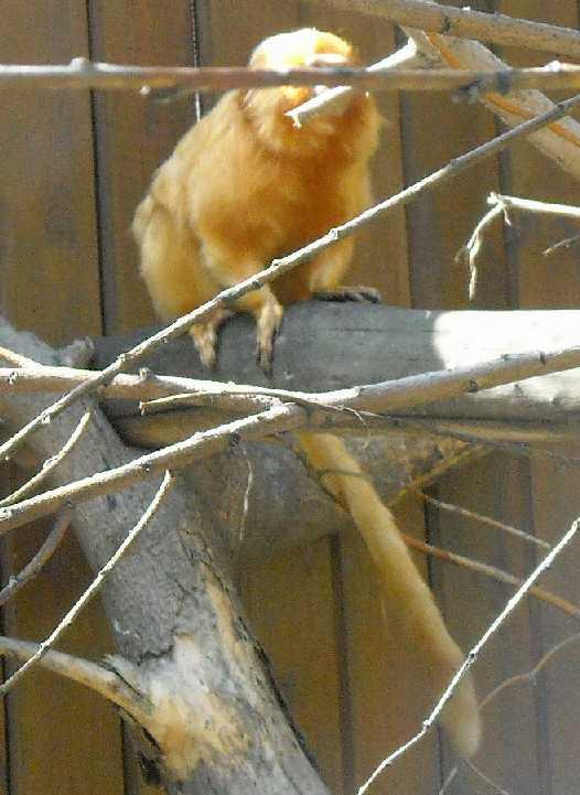 Золотистый львиный тамарин - Leontopithecus rosalia  (фото 3778)