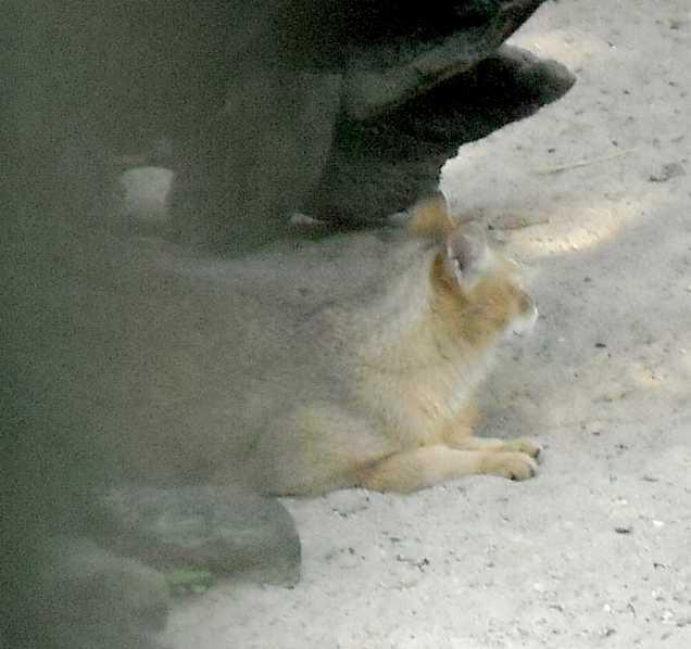 Камышовый кот - Felis chaus  (фото 3787)