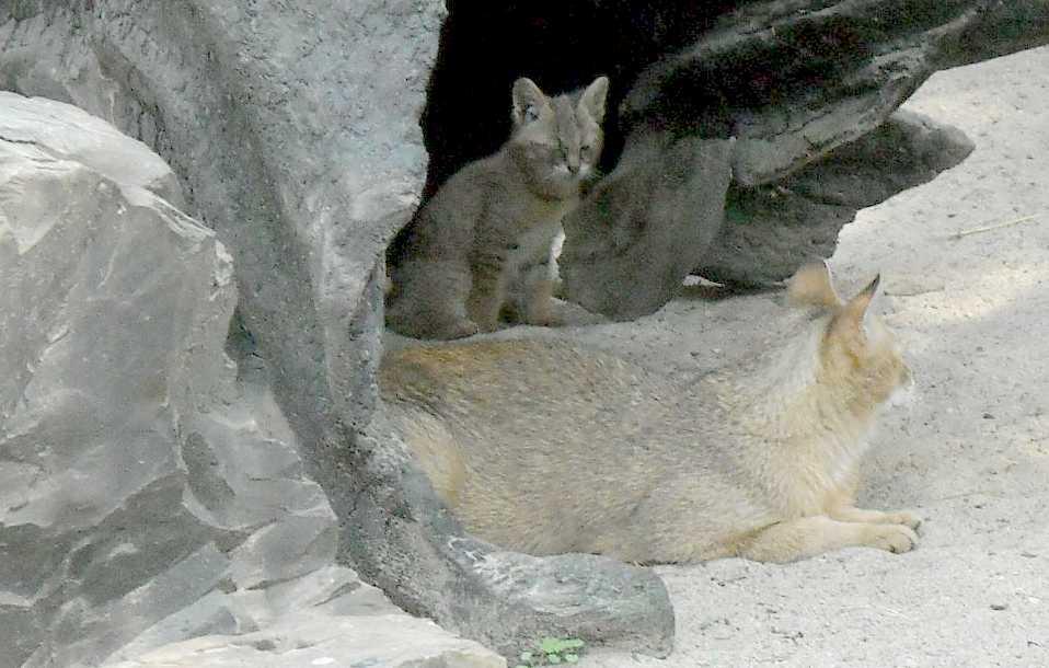 Камышовый кот - Felis chaus  (фото 3788)