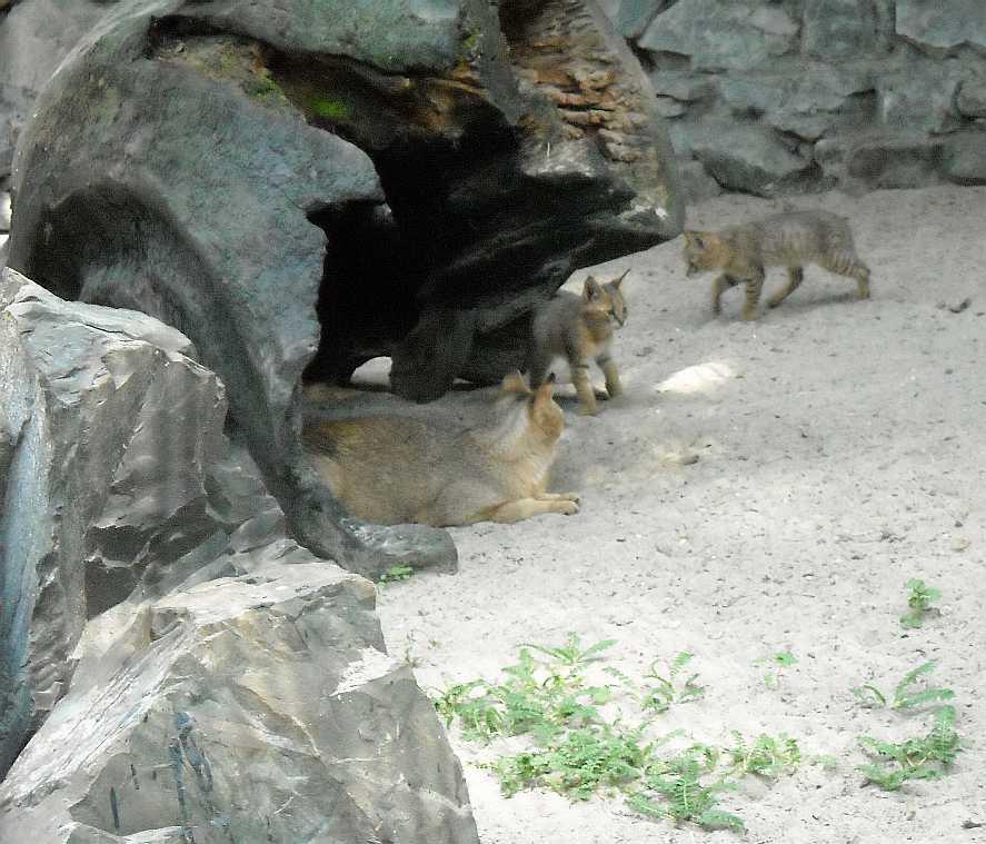 Камышовый кот - Felis chaus  (фото 3789)
