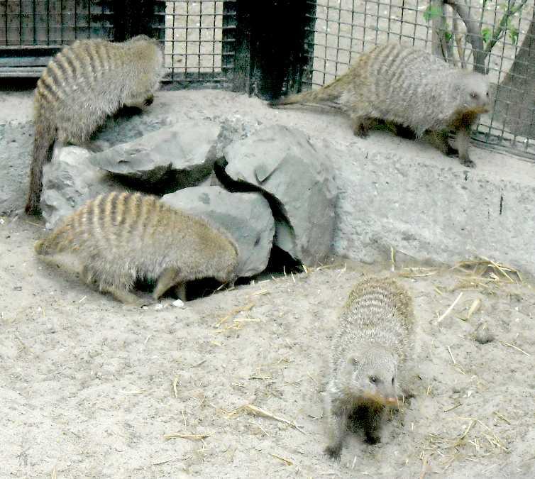 Полосатый мангуст - Mungos mungo  (фото 3799)