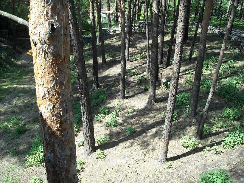 Сибирская косуля - Capreolus (capreolus) pygargus  (фото 3842)