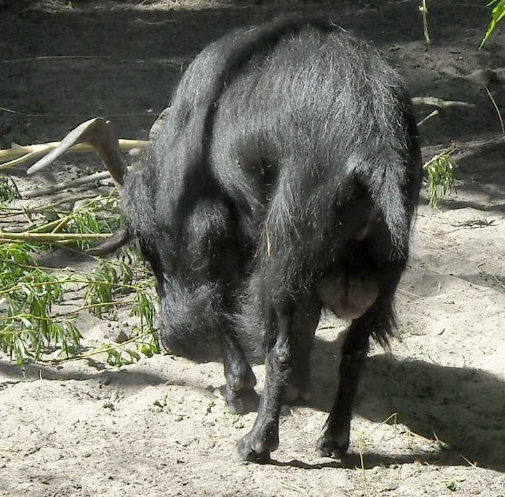 Камерунская коза -   (фото 3845)