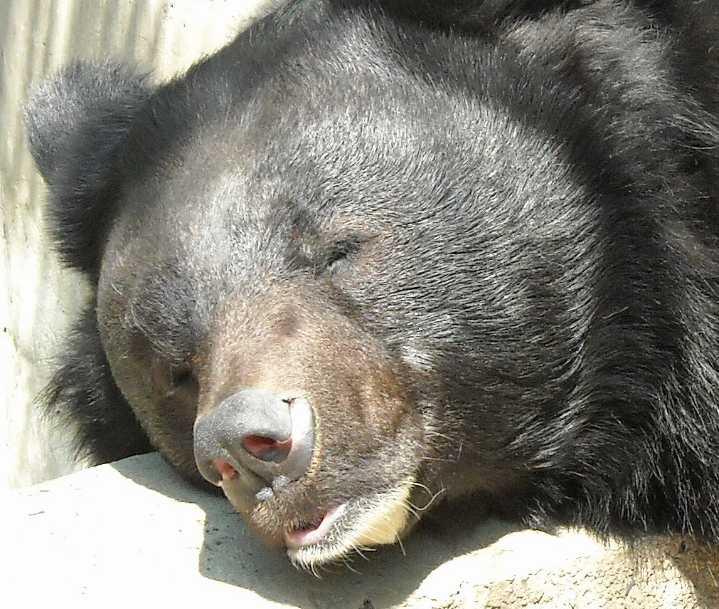 Уссурийский белогрудый медведь - Ursus thibetanus ussuricus  (фото 3884)
