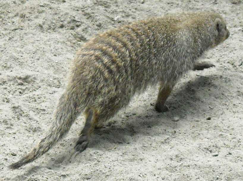 Полосатый мангуст - Mungos mungo  (фото 3898)