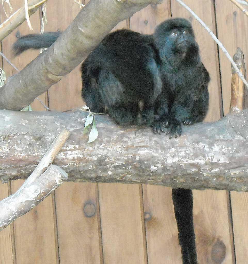 Гельдиевая мармозетка - Callimico goeldii  (фото 3926)