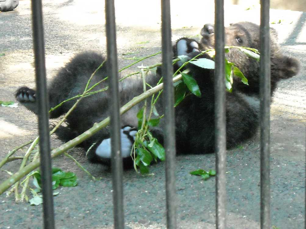 Бурый медведь - Ursus arctos  (фото 3946)