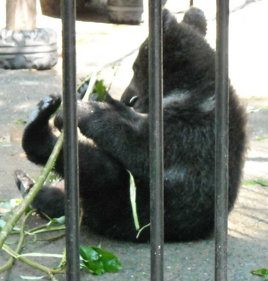Бурый медведь - Ursus arctos  (фото 3947)