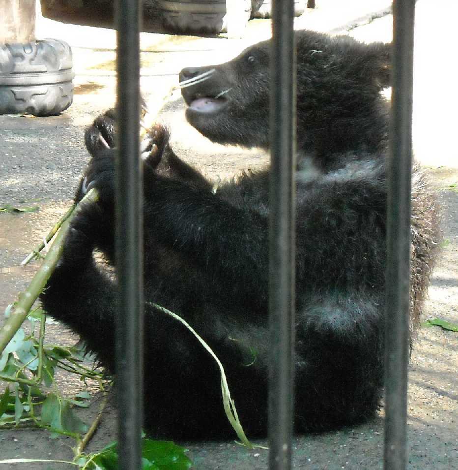 Бурый медведь - Ursus arctos  (фото 3948)
