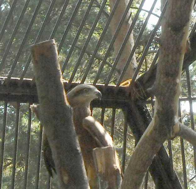 Черный коршун - Milvus migrans  (фото 3981)