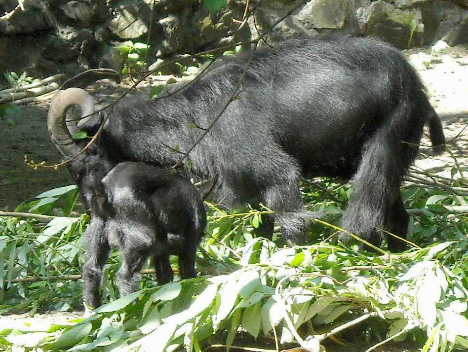 Камерунская коза -   (фото 4015)