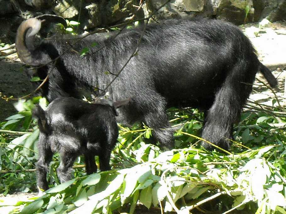 Камерунская коза -   (фото 4016)