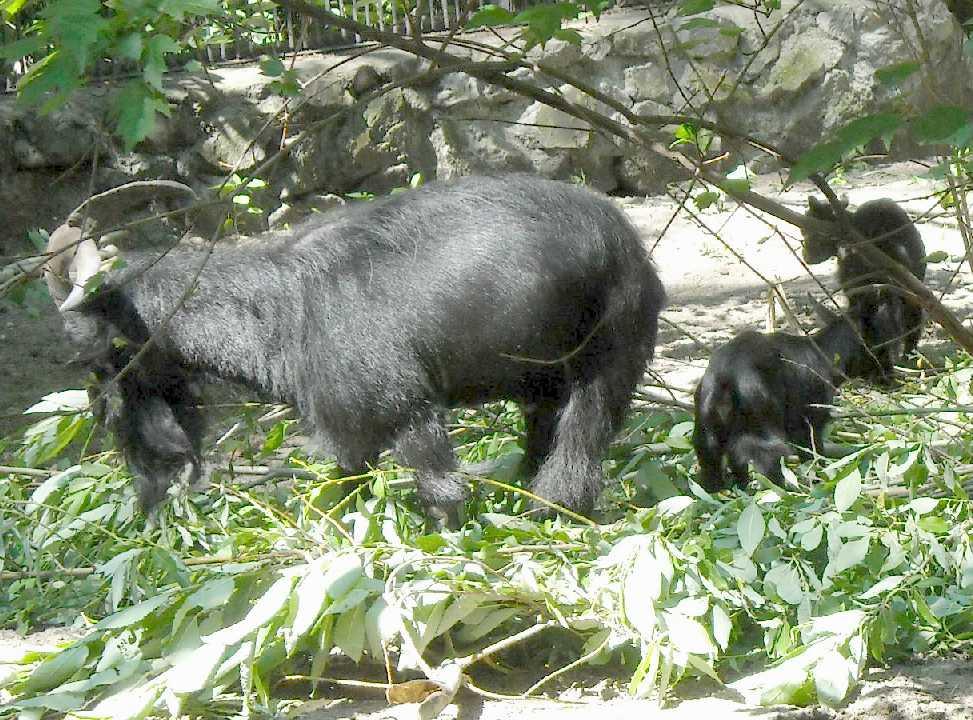 Камерунская коза -   (фото 4017)