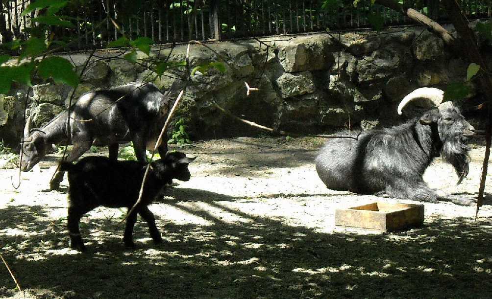Камерунская коза -   (фото 4021)