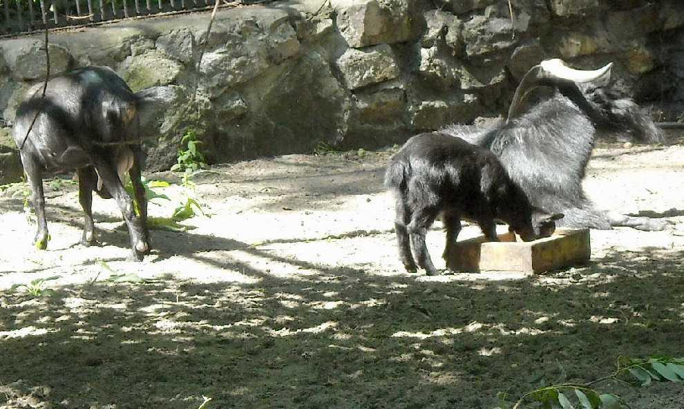 Камерунская коза -   (фото 4022)