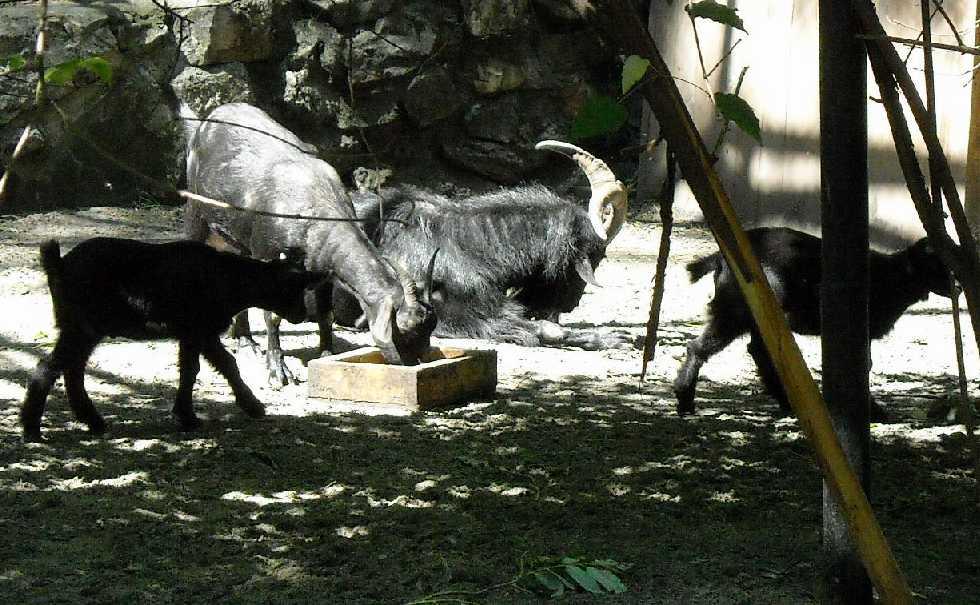 Камерунская коза -   (фото 4024)