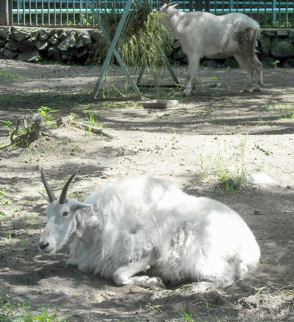 Снежная коза - Oreamnos americanus  (фото 4031)