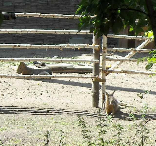 Патагонская мара - Dolichotis patagonica  (фото 4088)