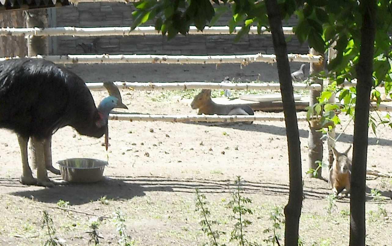 Шлемоносный казуар - Casuarius casuarius  (фото 4089)