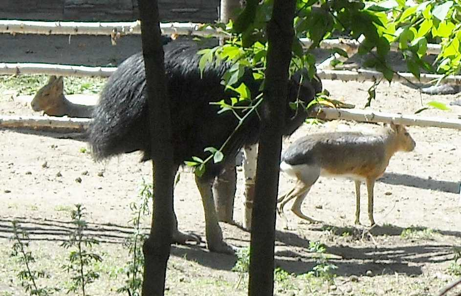 Патагонская мара - Dolichotis patagonica  (фото 4091)