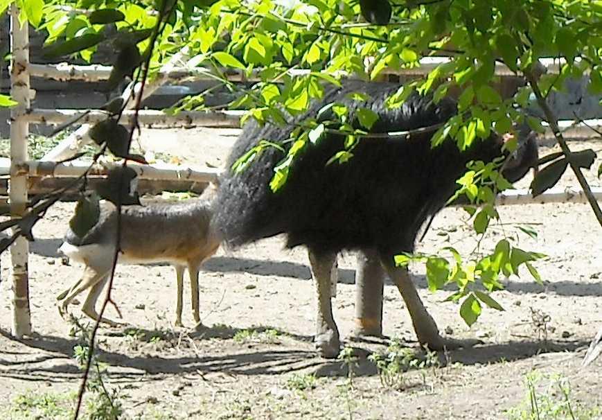 Патагонская мара - Dolichotis patagonica  (фото 4092)