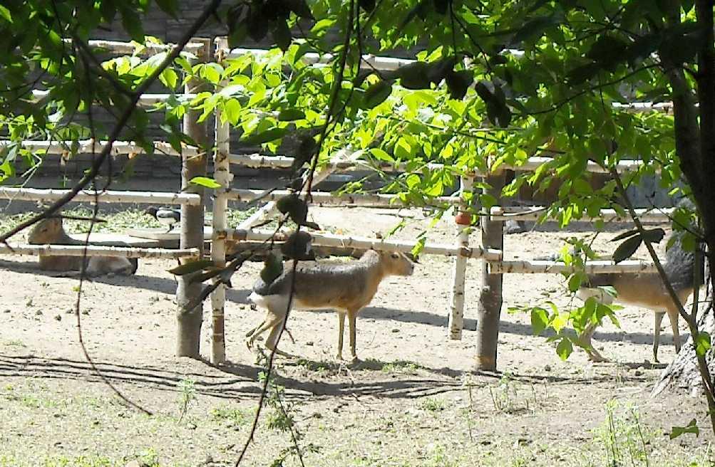 Патагонская мара - Dolichotis patagonica  (фото 4093)