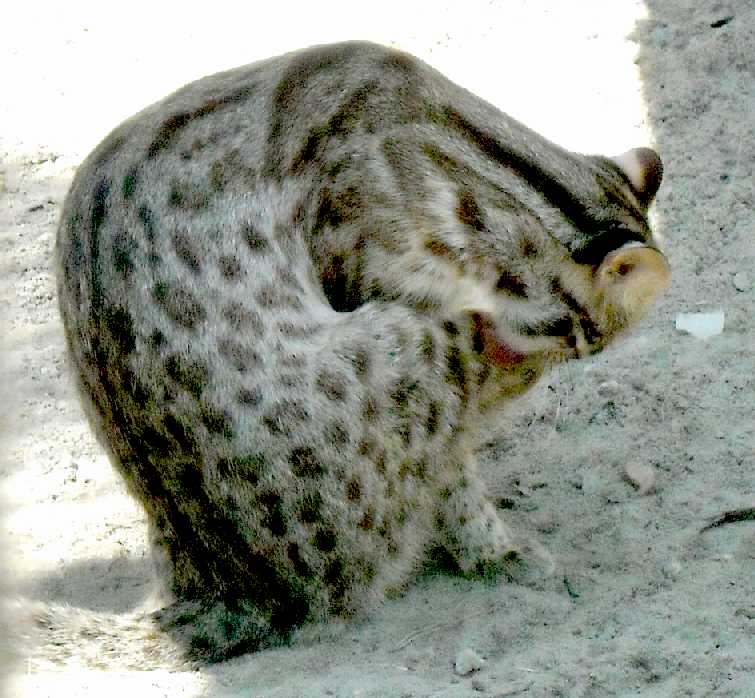Дальневосточный лесной кот - Felis euptilura  (фото 4180)