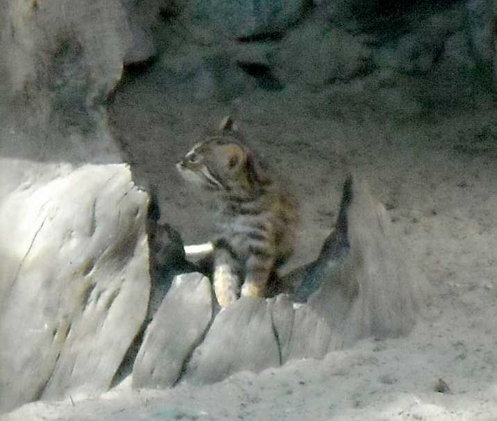 Дальневосточный лесной кот - Felis euptilura  (фото 4181)